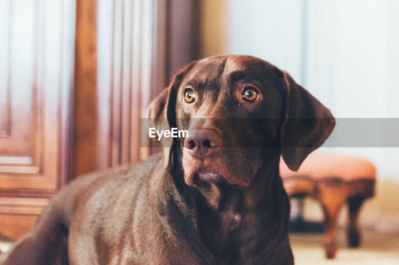domestic, pets, canine, dog, mammal, domestic animals, animal themes, one animal, animal, vertebrate, focus on foreground, indoors, portrait, brown, home interior, looking, close-up, looking away, no people, animal head, animal eye