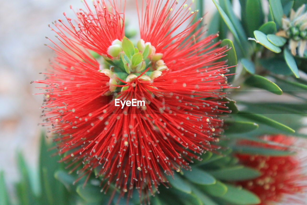 red, plant, freshness, beauty in nature, growth, fragility, close-up, flowering plant, vulnerability, flower, petal, nature, flower head, day, inflorescence, no people, selective focus, focus on foreground, green color, pollen, outdoors, spiky