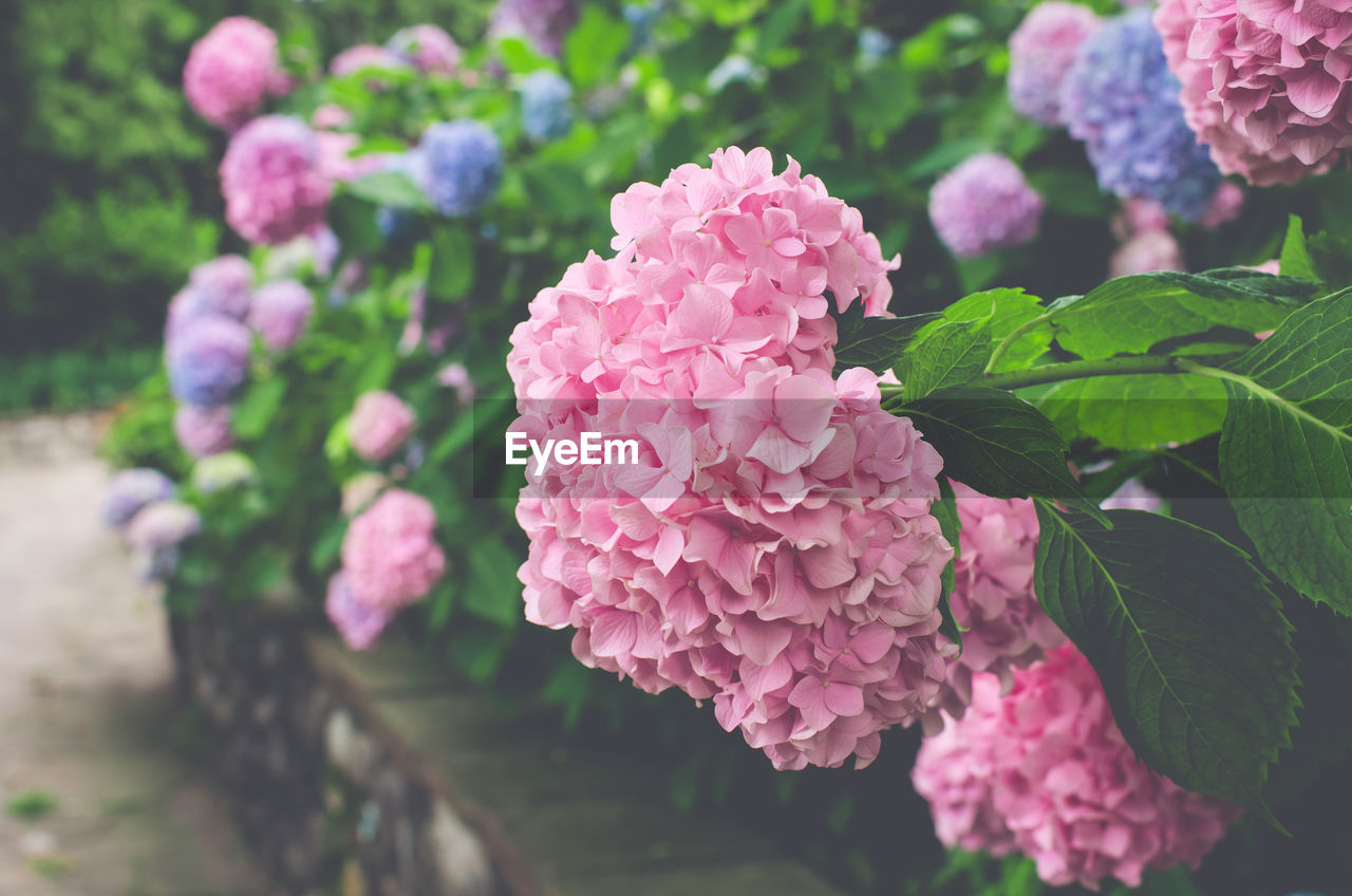 pink color, beauty in nature, growth, plant, freshness, flowering plant, flower, leaf, plant part, vulnerability, fragility, close-up, petal, nature, day, focus on foreground, inflorescence, no people, flower head, outdoors, springtime, lilac, lantana