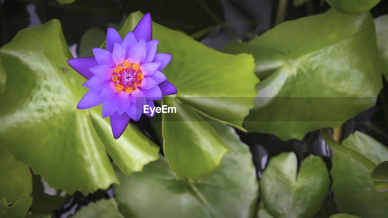Directly Above Shot Of Purple Water Lily Blooming In Pond