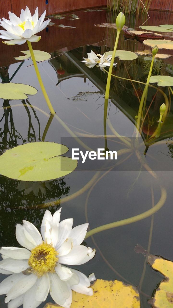 flower, flowering plant, plant, water, lake, beauty in nature, nature, fragility, water lily, vulnerability, freshness, petal, leaf, floating, plant part, floating on water, growth, lily, no people, flower head, outdoors, lotus water lily, pollen