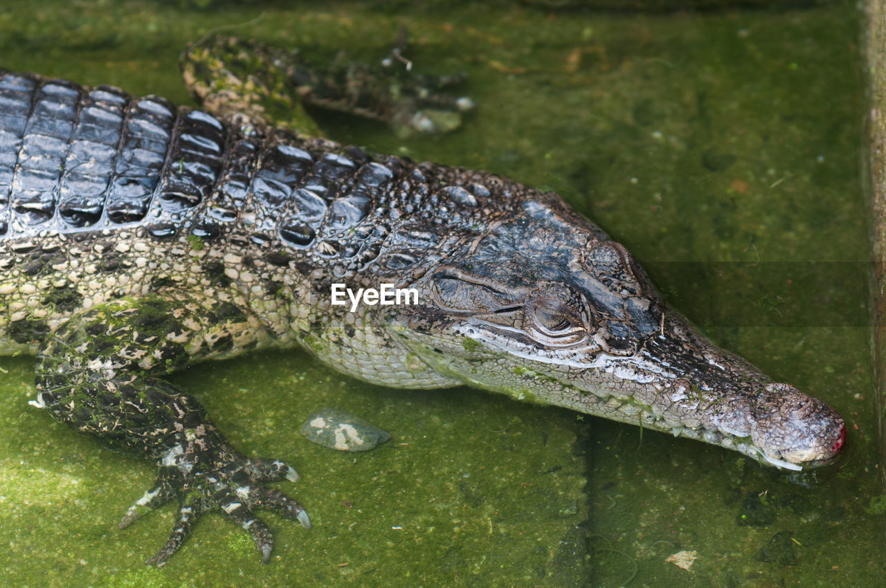 reptile, animals in the wild, one animal, animal wildlife, animal themes, water, alligator, crocodile, no people, day, outdoors, nature, close-up