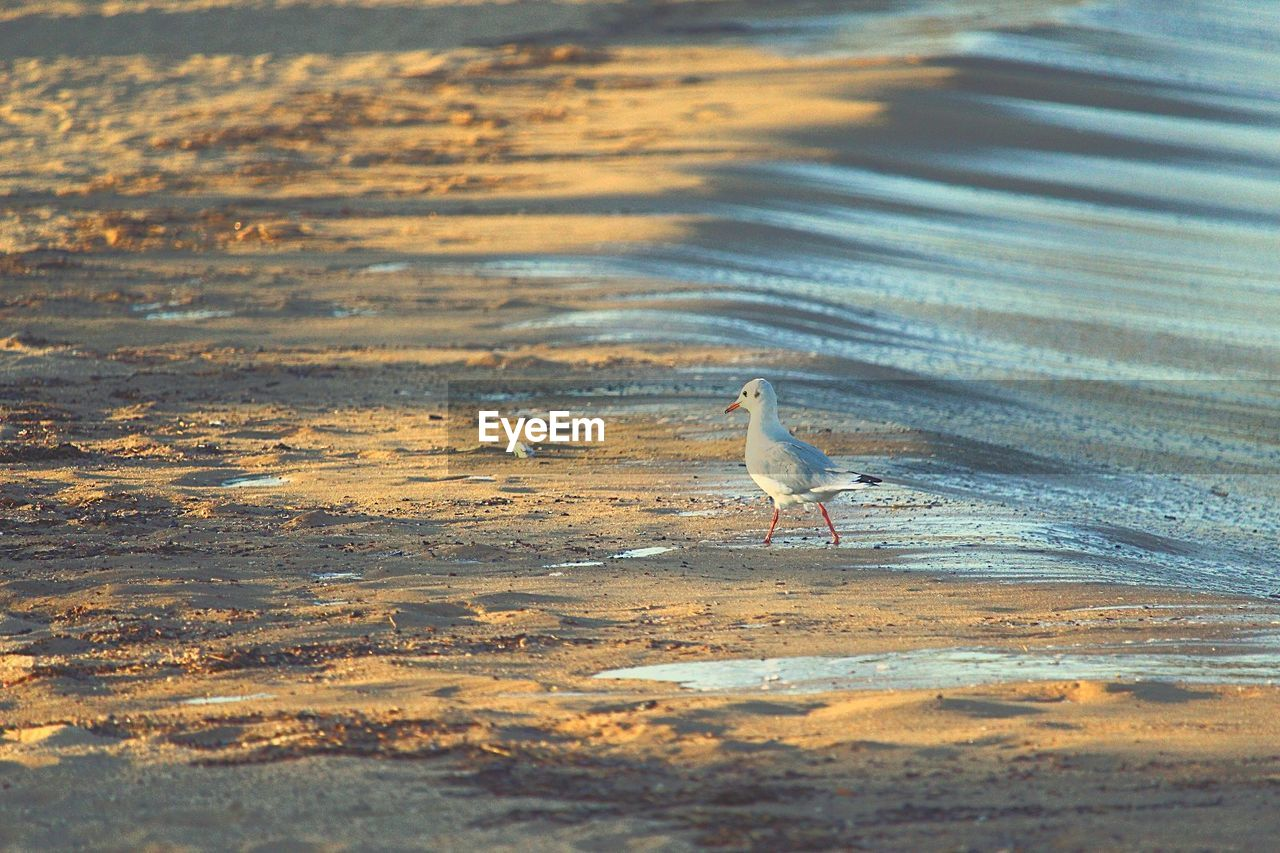 bird, animals in the wild, animal themes, one animal, animal wildlife, nature, water, beach, sand, day, no people, sea, outdoors, perching, beauty in nature, sunset