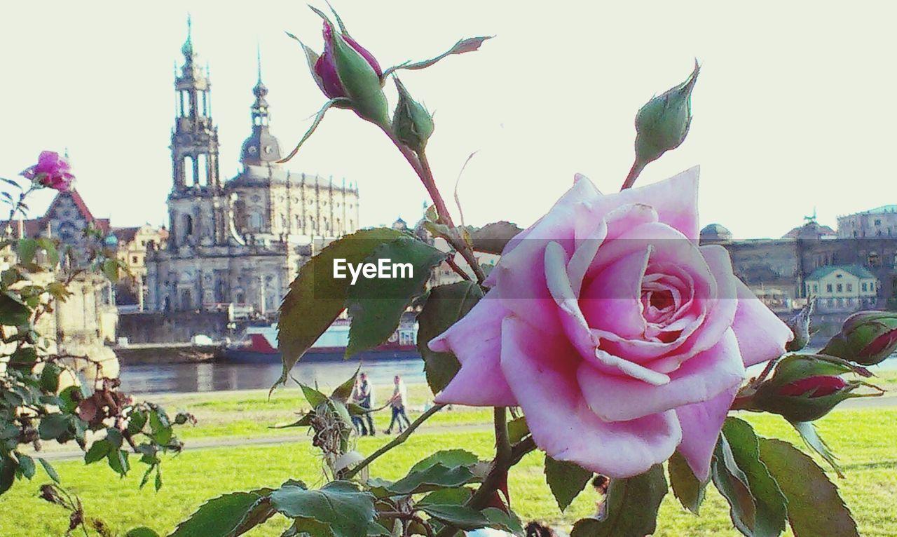 Purple rose in park