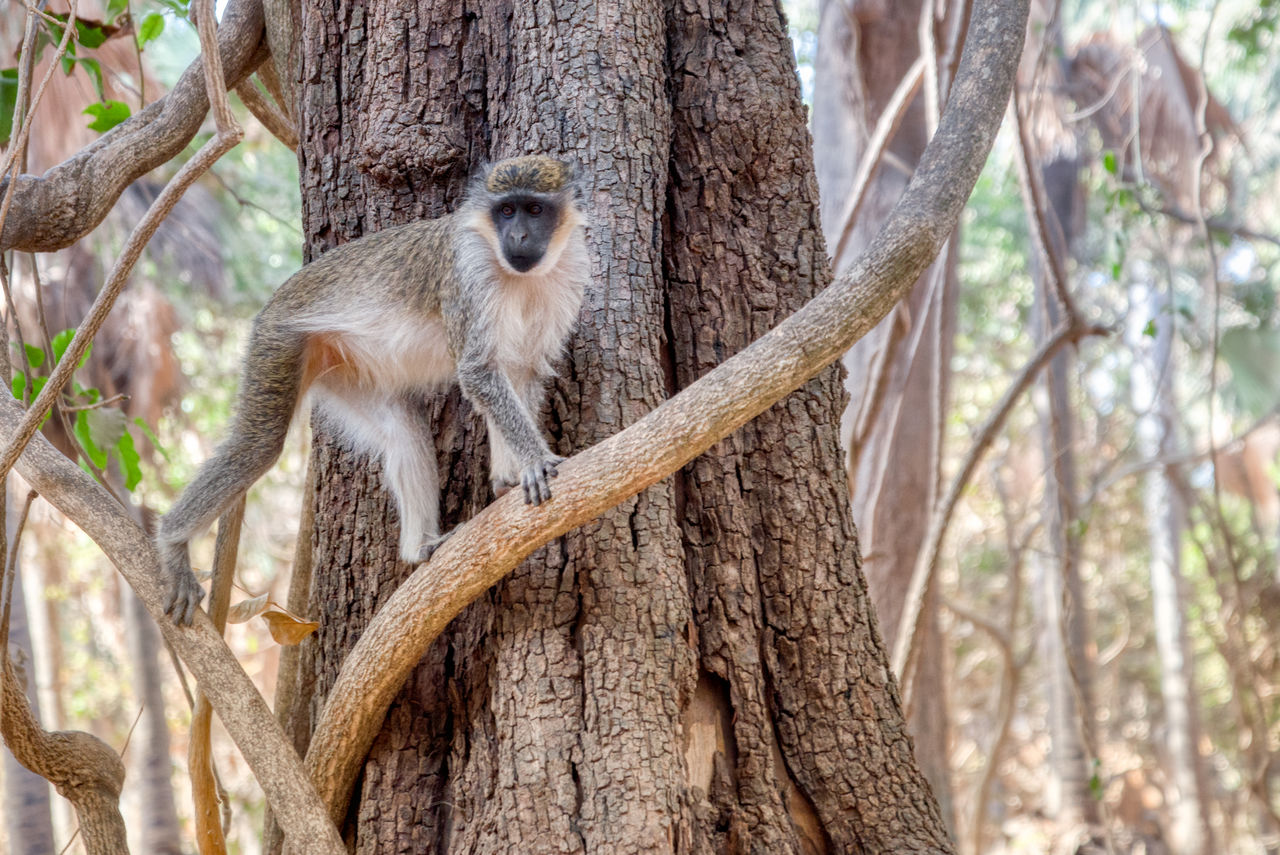 tree, animal wildlife, animal, animal themes, animals in the wild, mammal, tree trunk, trunk, one animal, plant, vertebrate, focus on foreground, primate, nature, branch, no people, day, forest, monkey, land, outdoors