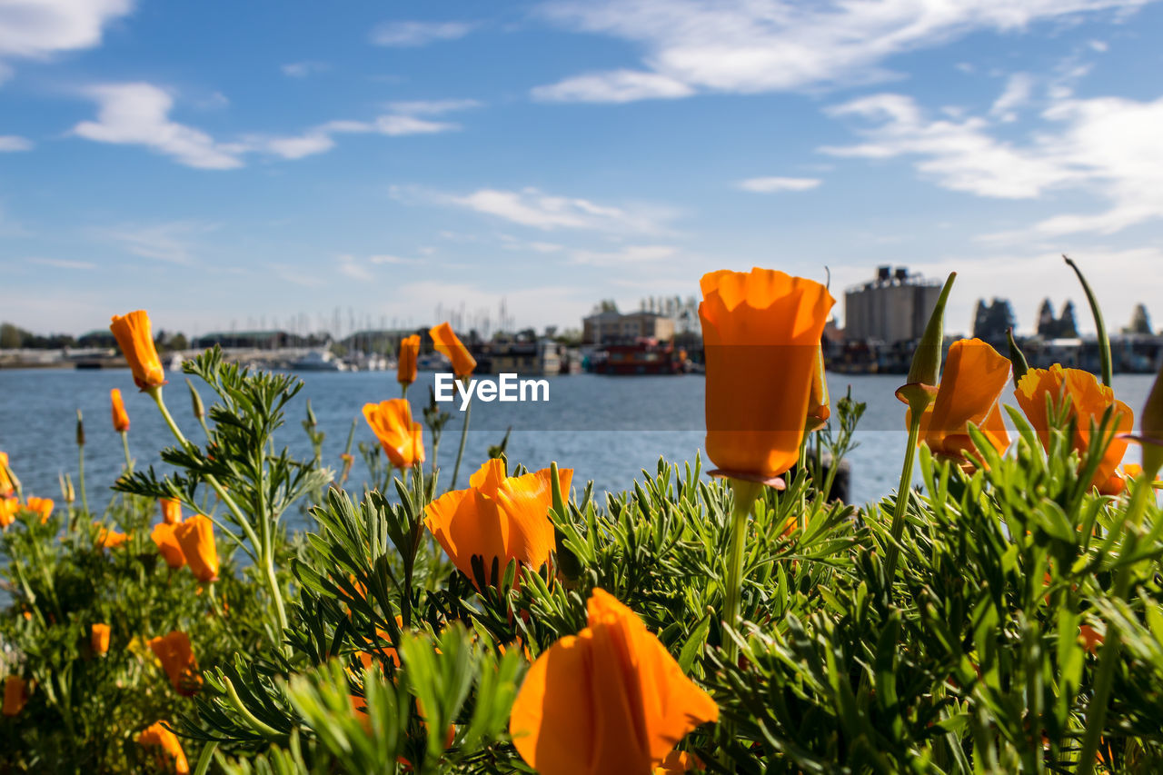 flowering plant, flower, plant, beauty in nature, sky, growth, freshness, nature, cloud - sky, fragility, orange color, vulnerability, petal, flower head, close-up, inflorescence, no people, water, land, day, outdoors, flowerbed