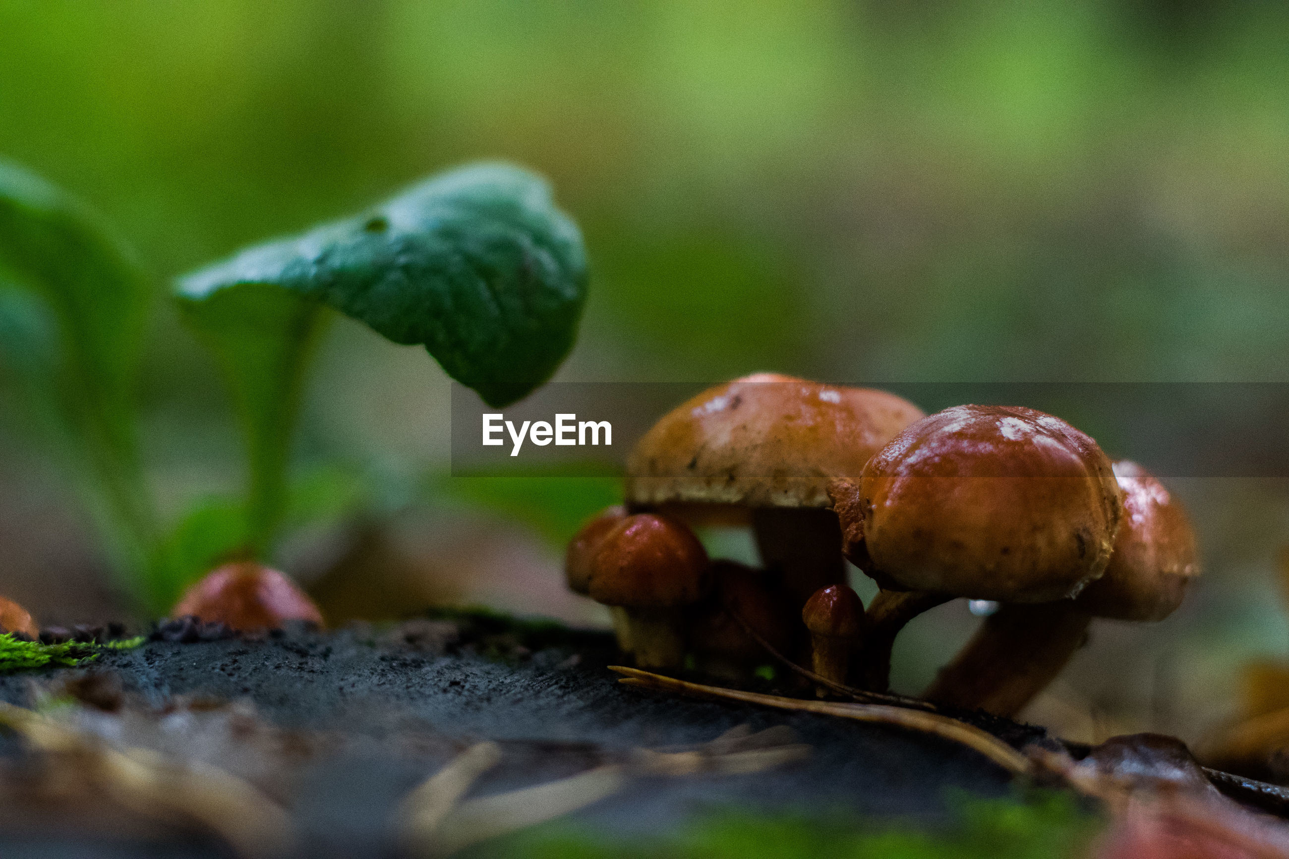 Close-up of wet mushrooms growing in forest