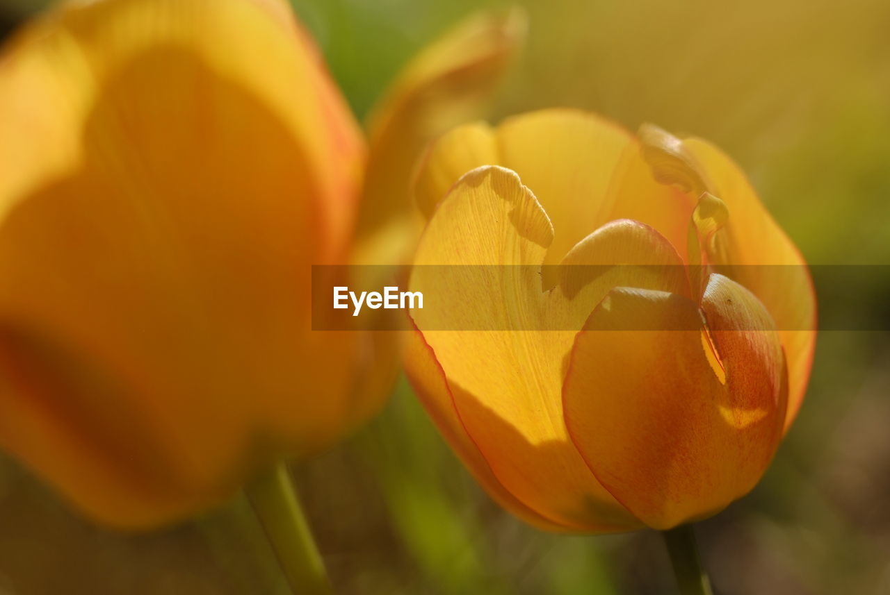 freshness, petal, close-up, flower, beauty in nature, plant, growth, fragility, vulnerability, flowering plant, flower head, inflorescence, orange color, nature, tulip, no people, yellow, selective focus, day, focus on foreground, outdoors