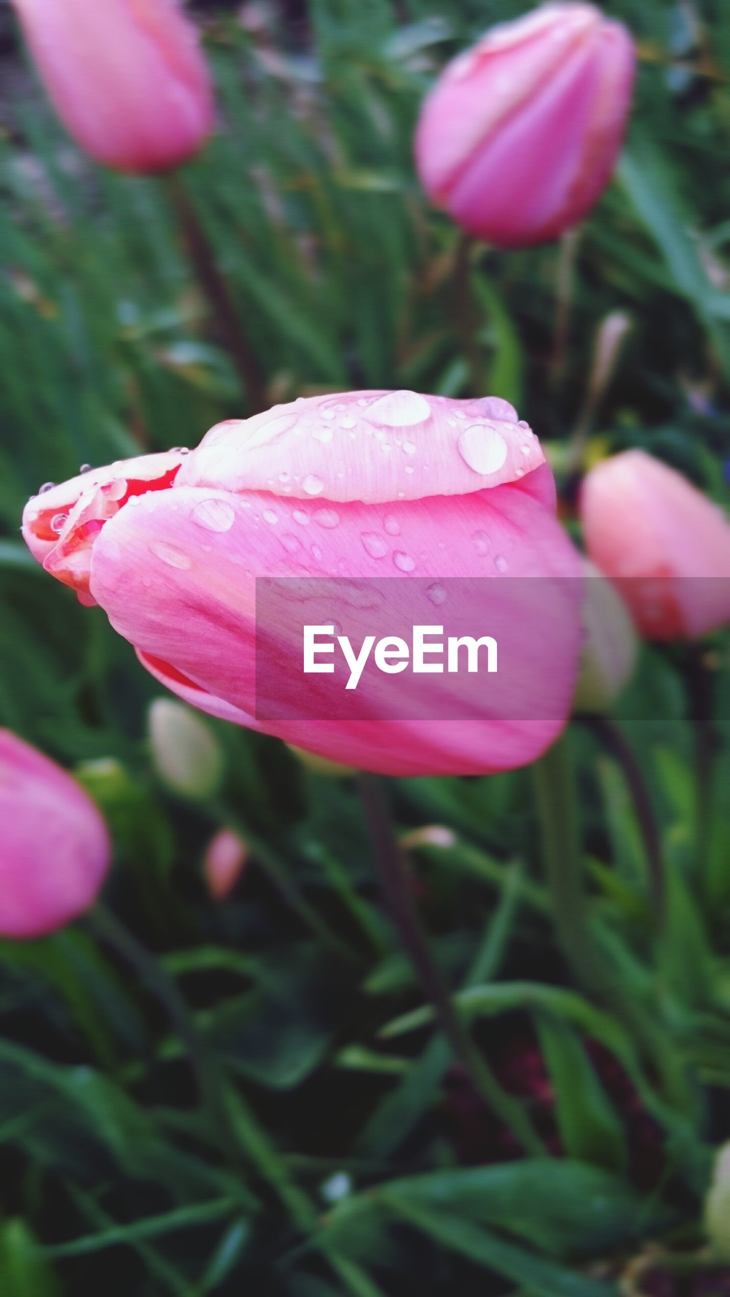 Close-up of water drops on tulips
