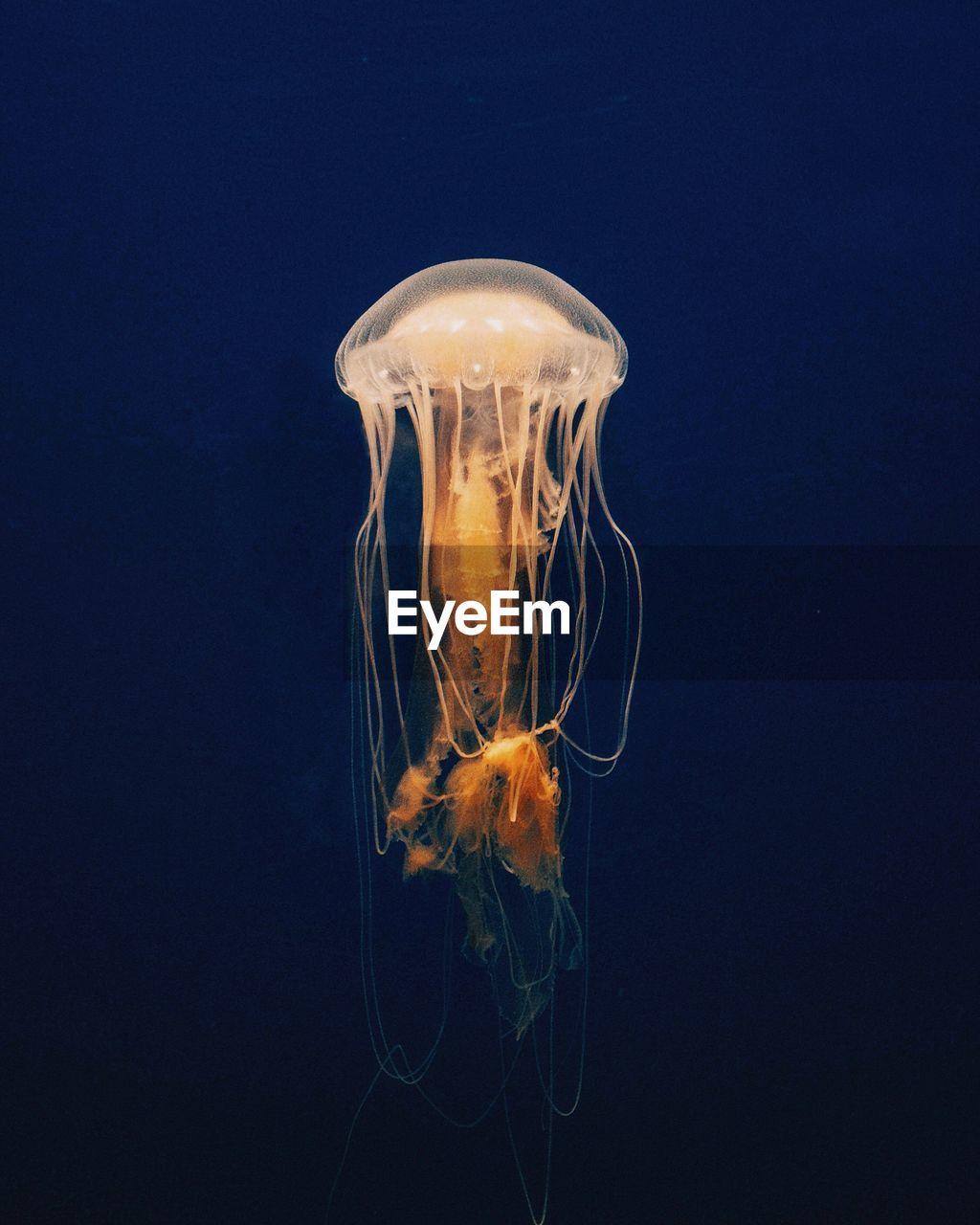 Jellyfish swimming underwater in aquarium