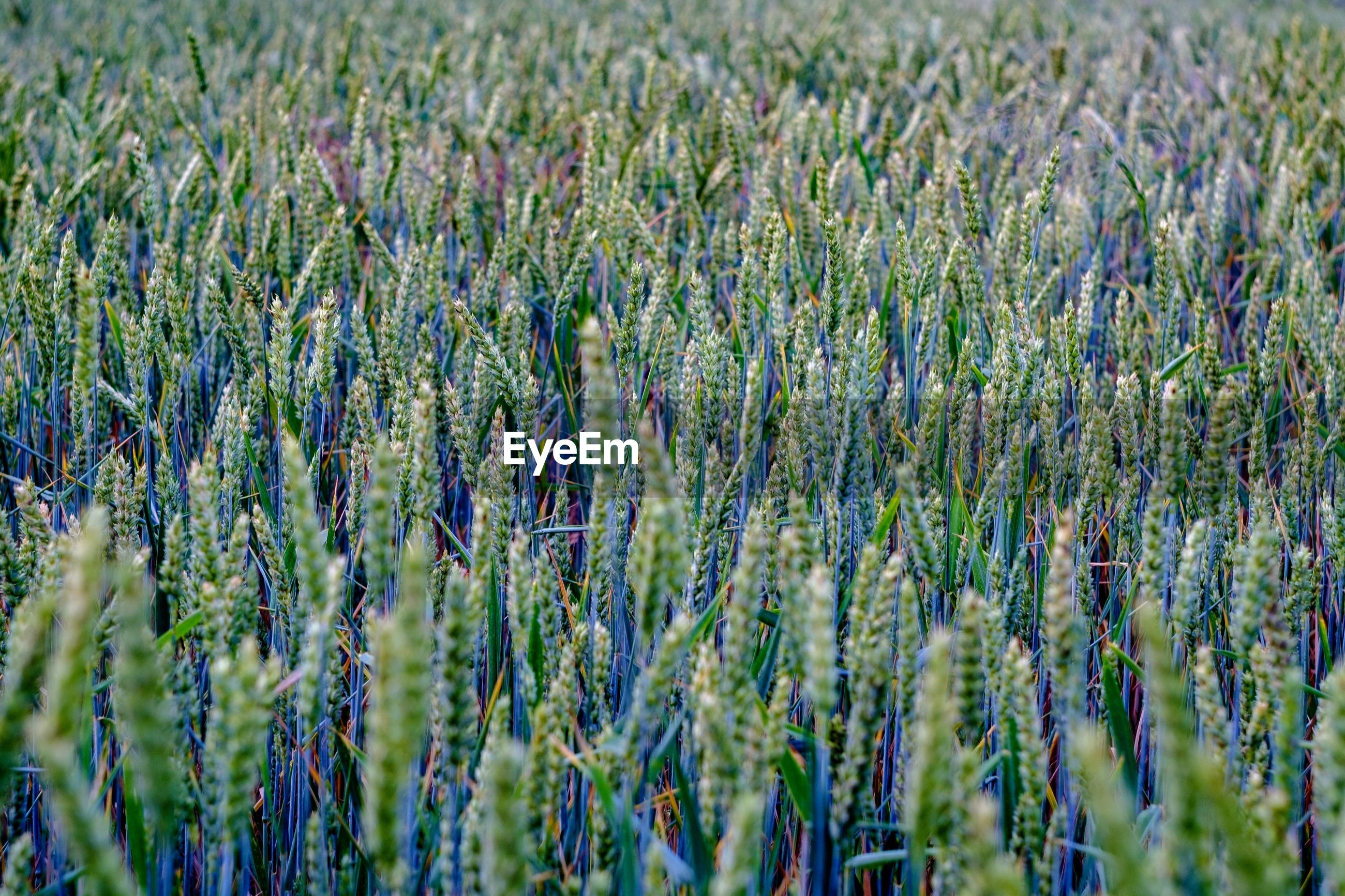 FULL FRAME SHOT OF CROPS