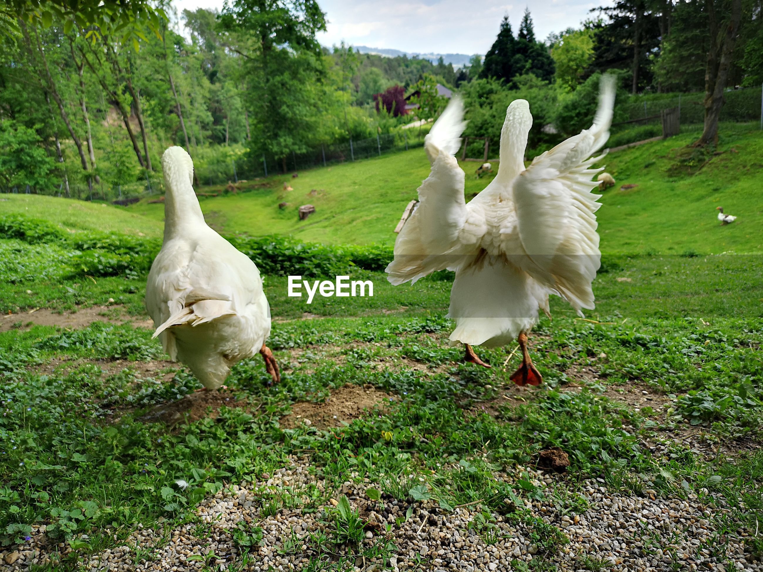 WHITE GEESE ON FIELD