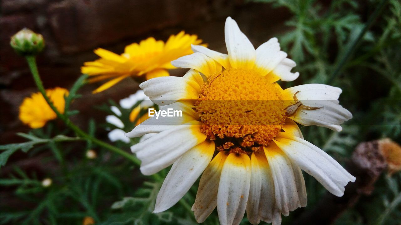 flower, petal, fragility, flower head, yellow, beauty in nature, nature, freshness, pollen, growth, plant, close-up, white color, blooming, outdoors, day, no people, focus on foreground, springtime