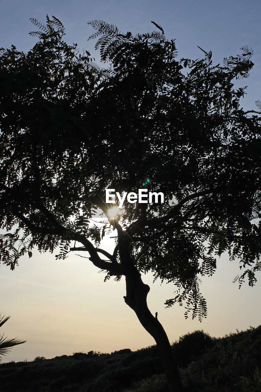 tree, silhouette, nature, outdoors, growth, sunset, sky, branch, tranquility, low angle view, beauty in nature, day, no people
