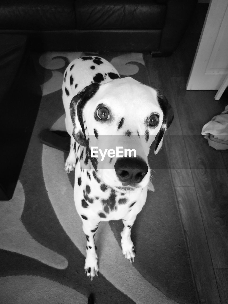 High Angle Portrait Of Dalmatian Dog On Floor At Home