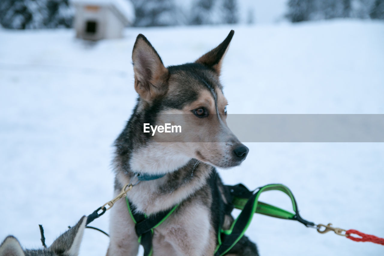 domestic animals, one animal, domestic, mammal, animal, animal themes, pets, vertebrate, canine, dog, focus on foreground, looking, sled dog, looking away, leash, pet leash, no people, collar, winter, day