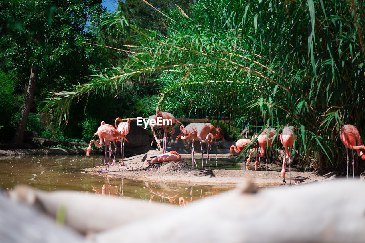 Flamingos At Lakeshore
