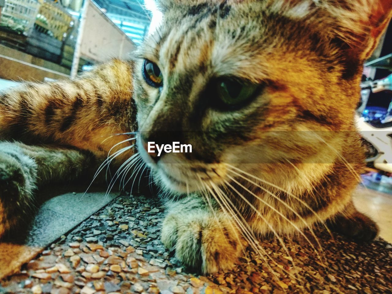 cat, domestic, domestic cat, animal themes, feline, pets, mammal, animal, domestic animals, one animal, vertebrate, close-up, whisker, looking, looking away, relaxation, no people, indoors, animal body part, animal head, animal eye, tabby