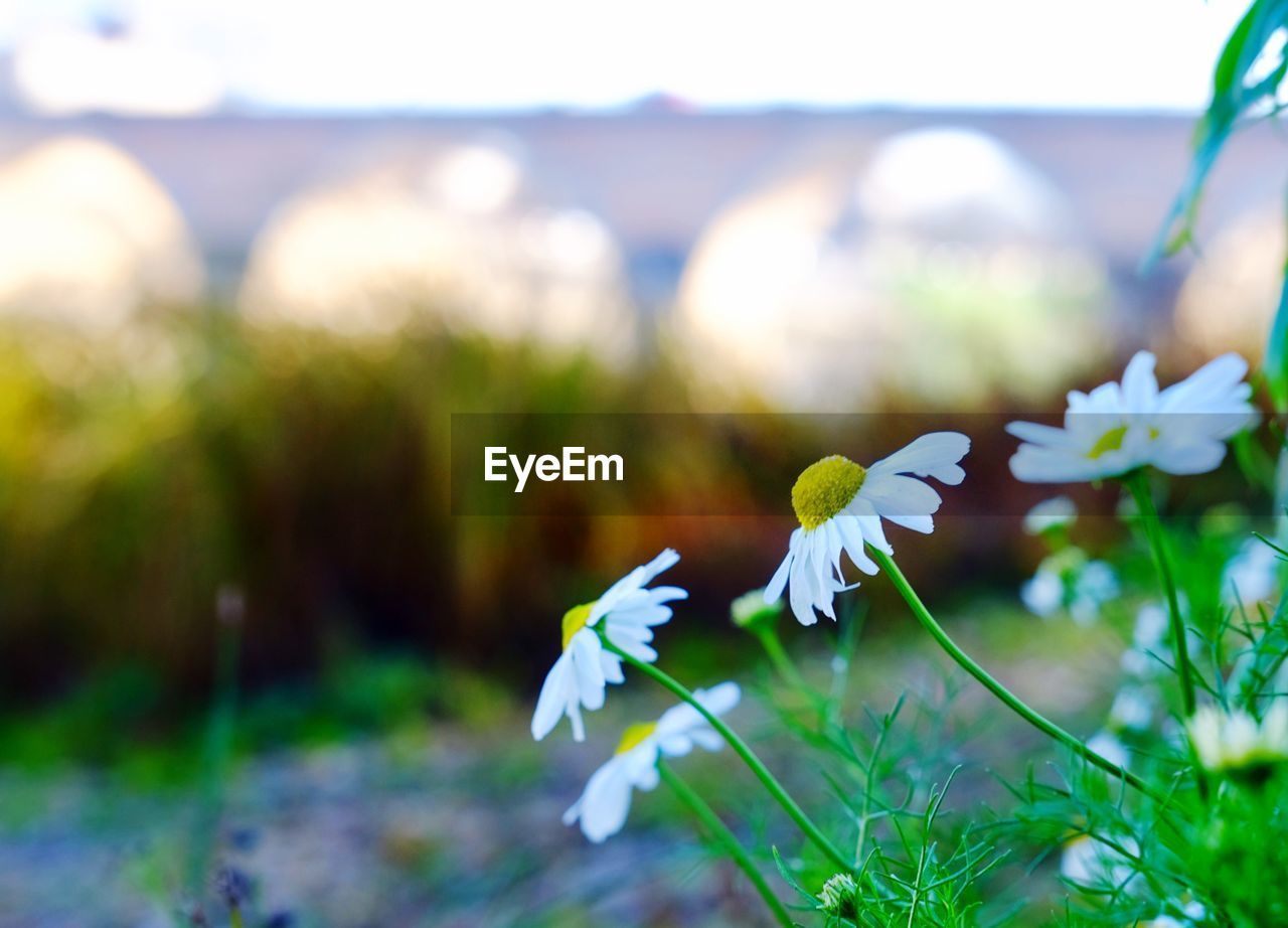 flower, beauty in nature, fragility, nature, freshness, petal, plant, white color, growth, focus on foreground, day, flower head, outdoors, field, no people, close-up, blooming, snowdrop, grass, crocus