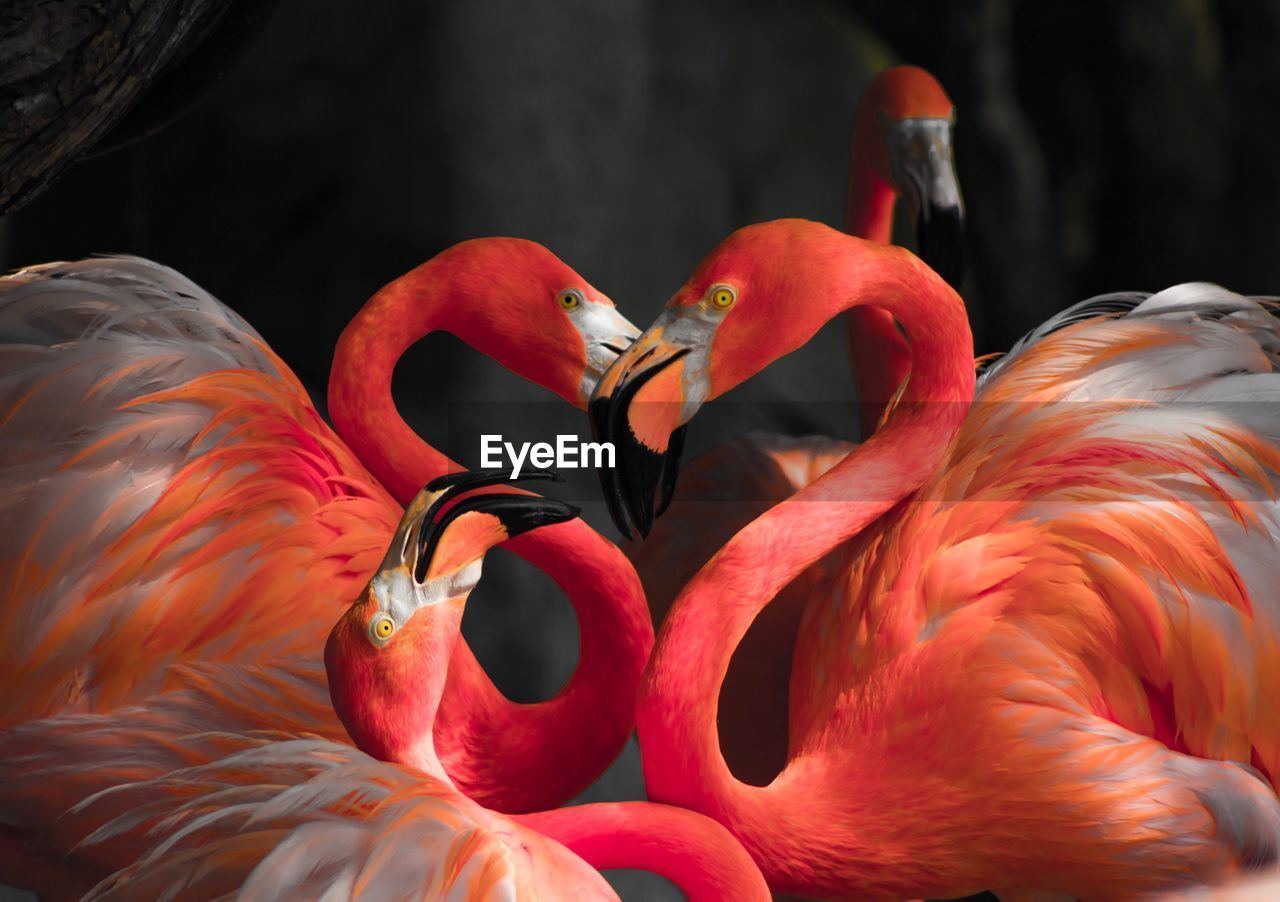 vertebrate, animal, bird, animal themes, flamingo, animal wildlife, group of animals, animals in the wild, two animals, no people, nature, day, close-up, orange color, focus on foreground, togetherness, beauty in nature, beak, feather, animal body part, animal neck, freshwater bird