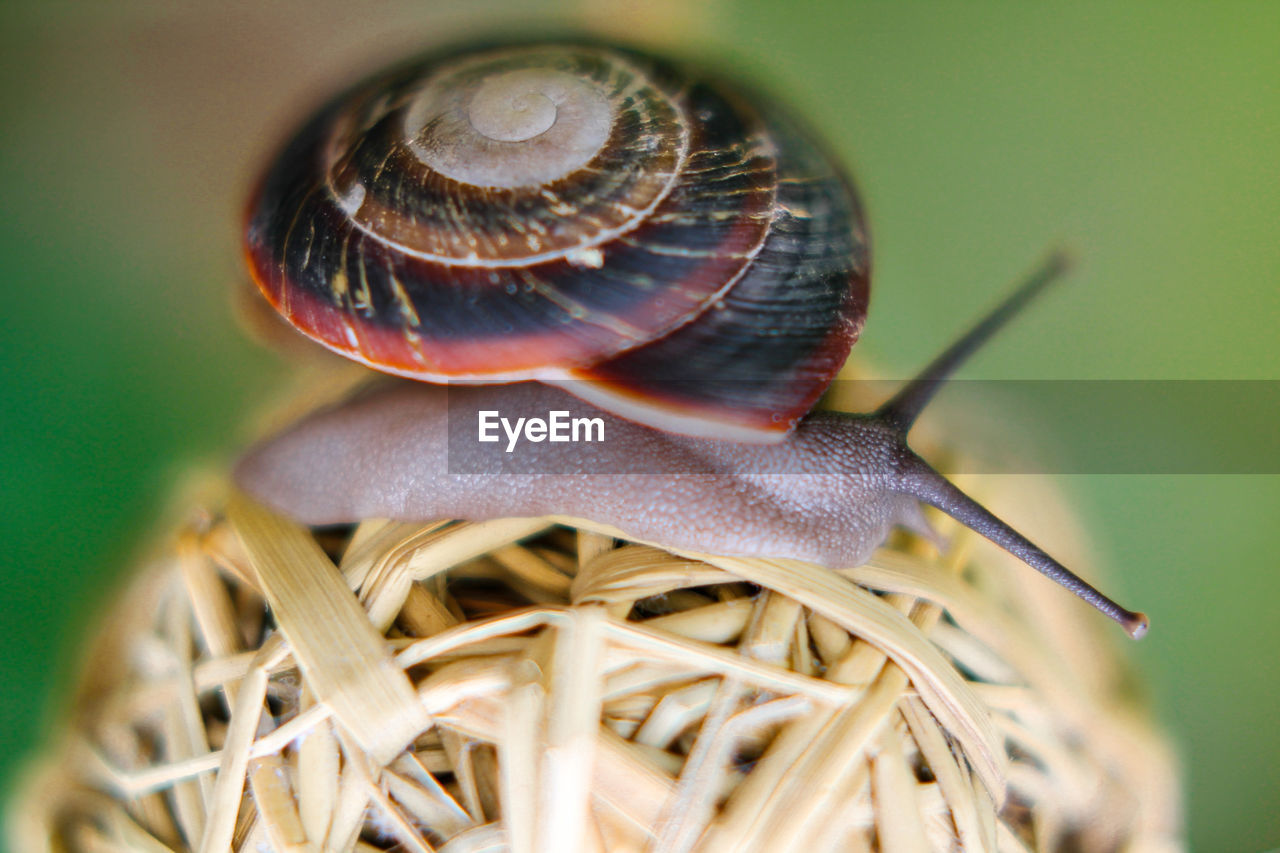 one animal, close-up, snail, animal themes, nature, wildlife, gastropod, animals in the wild, no people, day, fragility, outdoors, beauty in nature