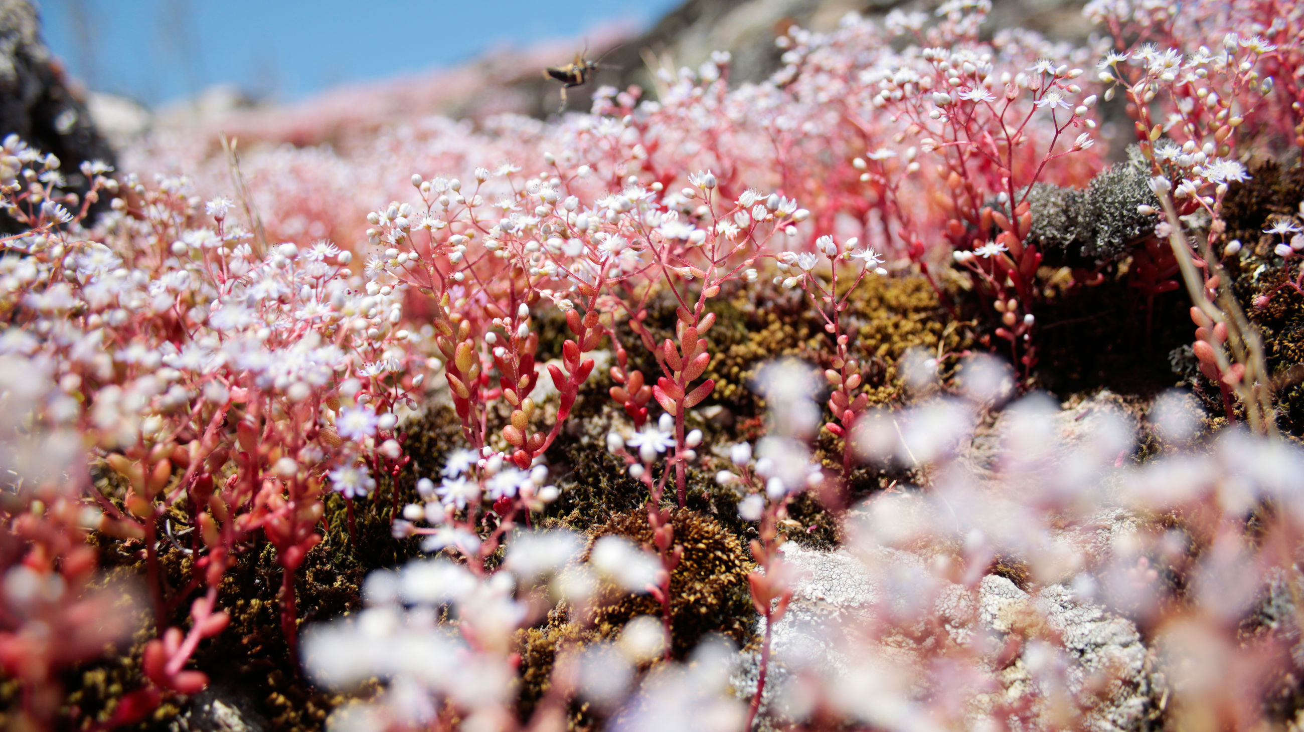 Close-up of pink moss flowers blooming on field