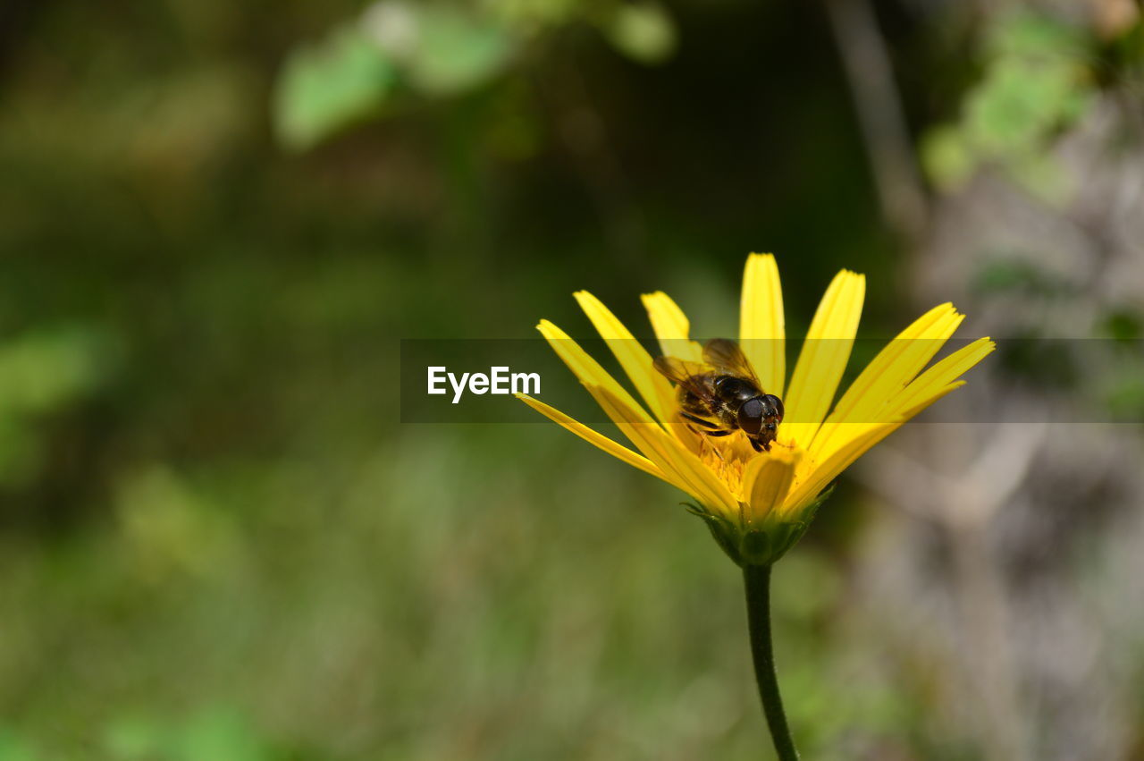 flowering plant, yellow, flower, one animal, animal themes, plant, animal, invertebrate, beauty in nature, animal wildlife, fragility, insect, animals in the wild, freshness, petal, vulnerability, close-up, flower head, focus on foreground, growth, no people, outdoors, pollen, pollination
