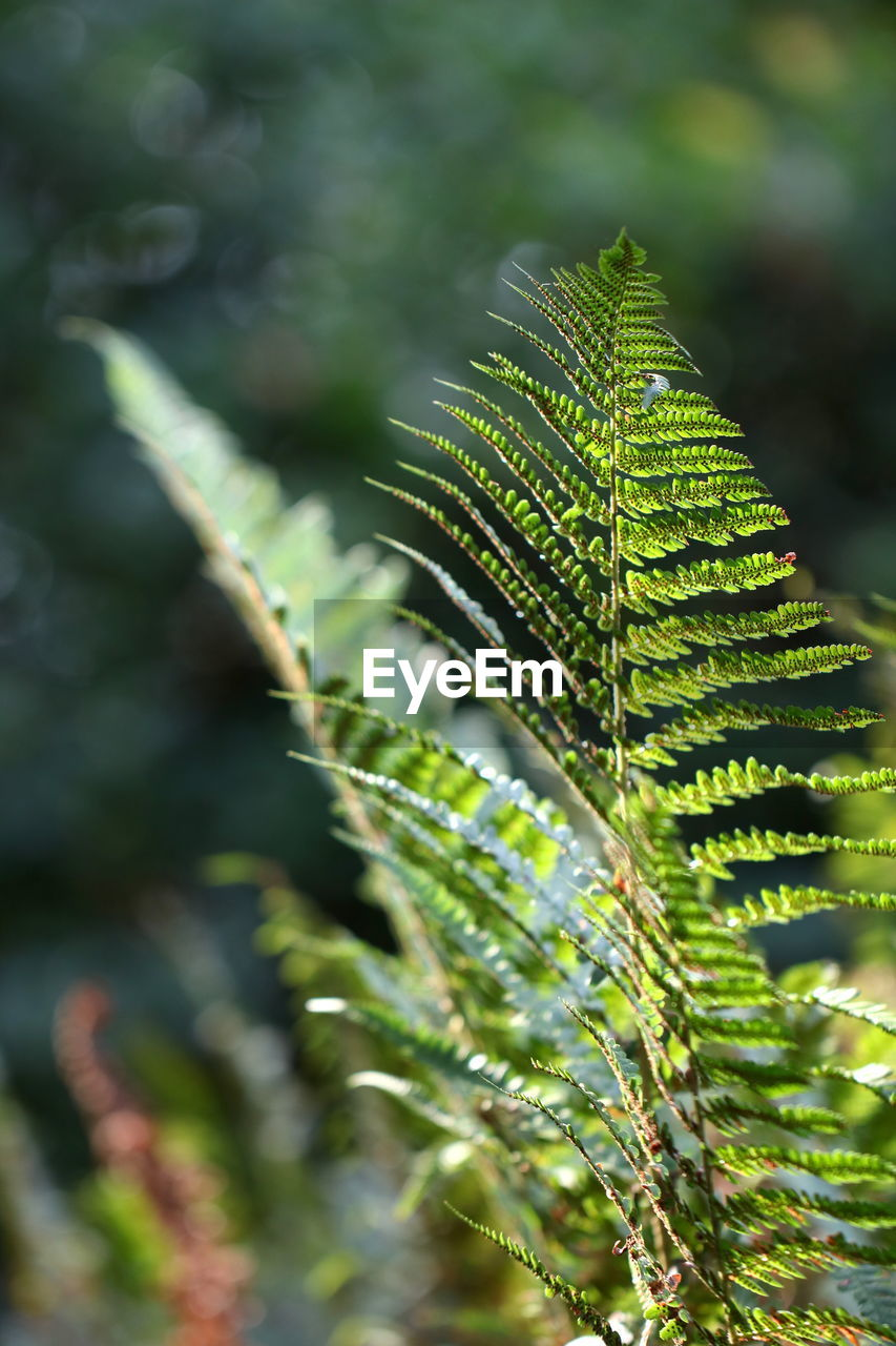 plant, leaf, plant part, growth, green color, beauty in nature, nature, no people, day, close-up, fern, focus on foreground, selective focus, tree, outdoors, tranquility, botany, sunlight, fragility, natural pattern, leaves, coniferous tree