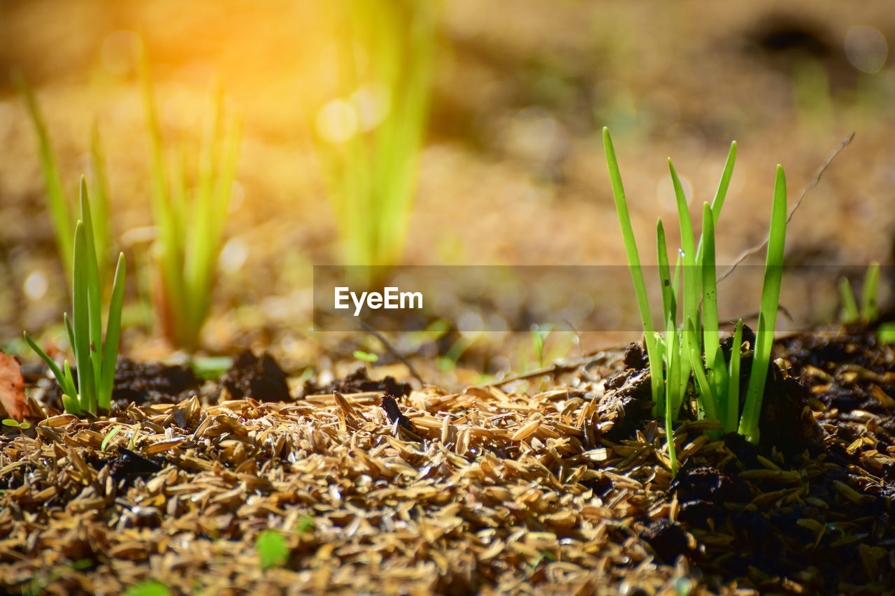 growth, plant, land, field, nature, selective focus, close-up, no people, green color, day, beauty in nature, sunlight, outdoors, vulnerability, grass, leaf, plant part, fragility, tranquility, freshness, surface level