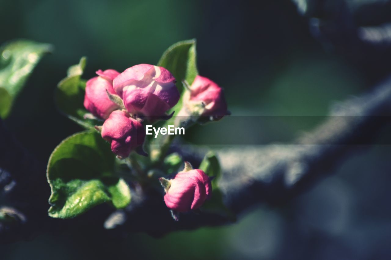 plant, flower, flowering plant, beauty in nature, freshness, vulnerability, growth, fragility, close-up, petal, selective focus, flower head, pink color, nature, inflorescence, focus on foreground, no people, bud, day, plant part, outdoors, sepal