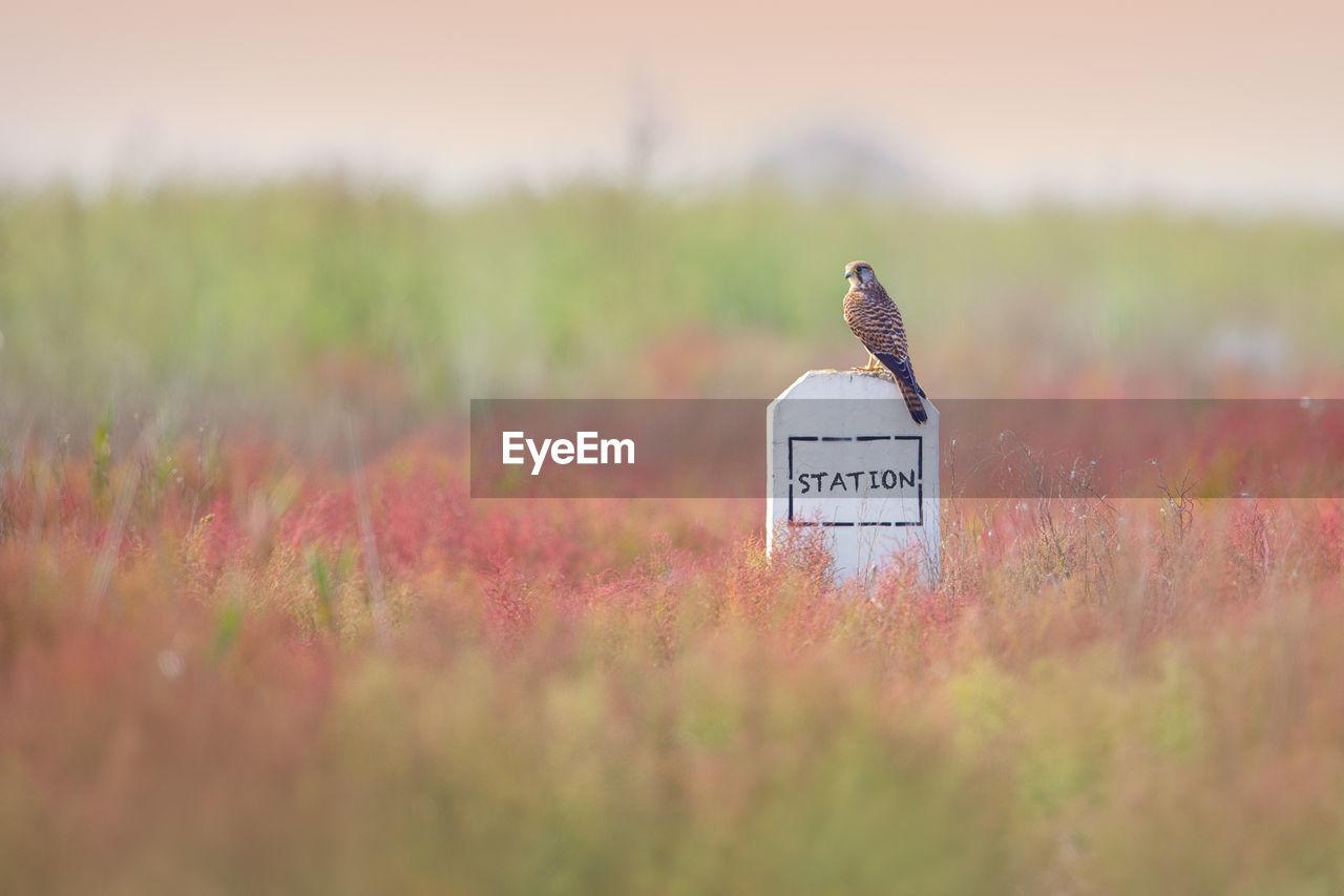 Kestrel On Information Sign In Field