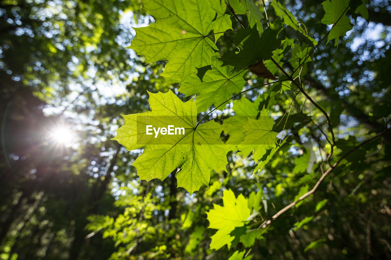 leaf, plant part, plant, tree, sunlight, growth, green color, low angle view, nature, beauty in nature, day, sky, sun, tranquility, branch, outdoors, no people, sunny, focus on foreground, sunbeam, lens flare, leaves, maple leaf, brightly lit