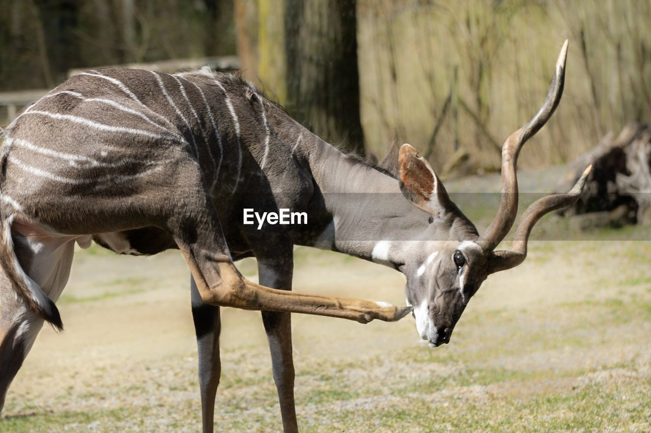 animal, animal themes, mammal, animal wildlife, animals in the wild, field, land, vertebrate, group of animals, plant, nature, no people, day, focus on foreground, domestic animals, horned, side view, two animals, tree, herbivorous