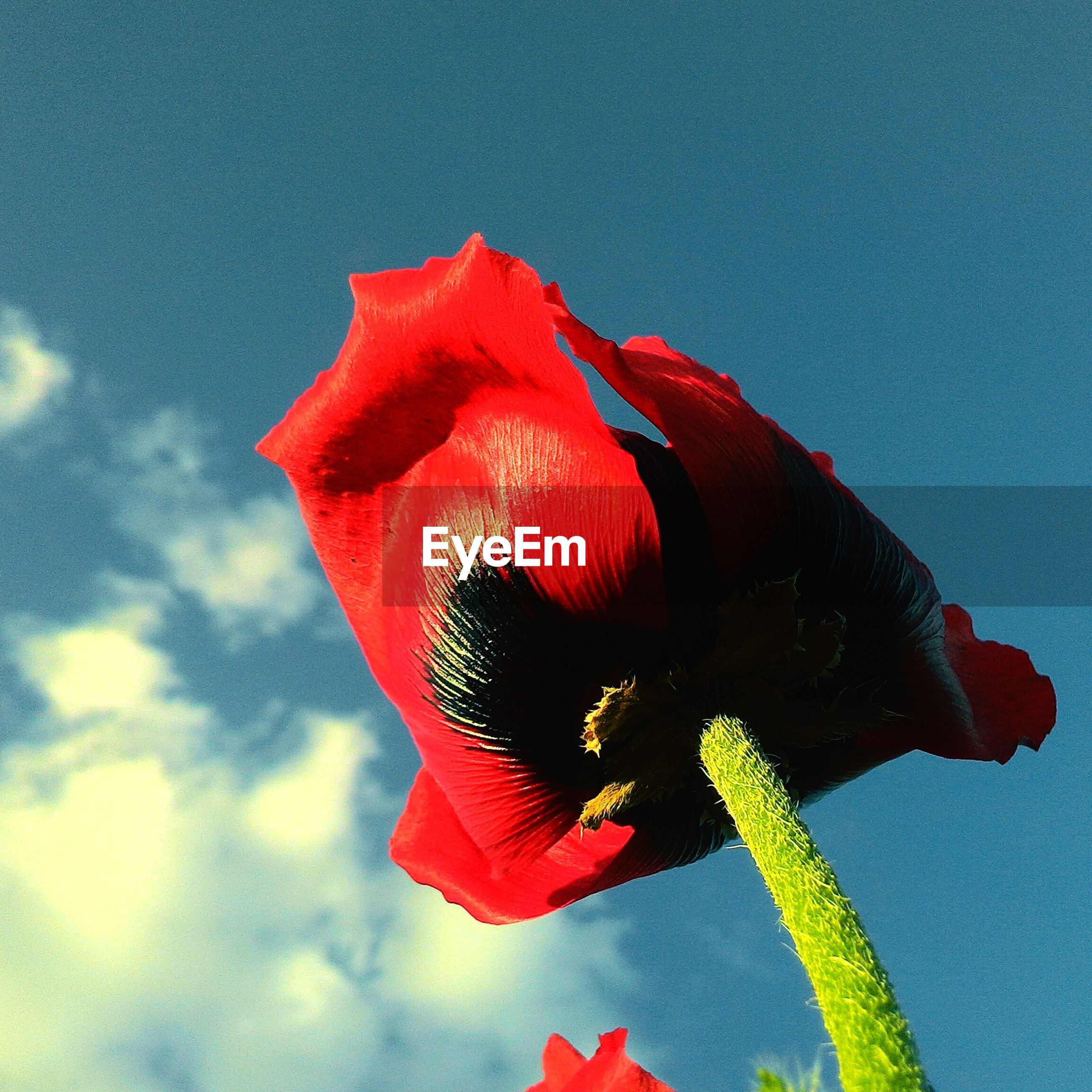 red, low angle view, sky, blue, close-up, flower, nature, beauty in nature, wind, growth, single flower, day, outdoors, plant, no people, stem, fragility, sunlight, petal, flower head