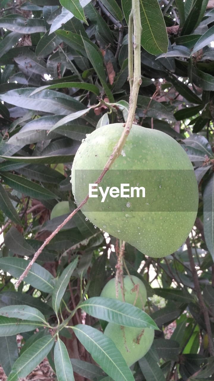 fruit, growth, food and drink, green color, food, leaf, tree, healthy eating, outdoors, freshness, day, unripe, nature, no people, close-up