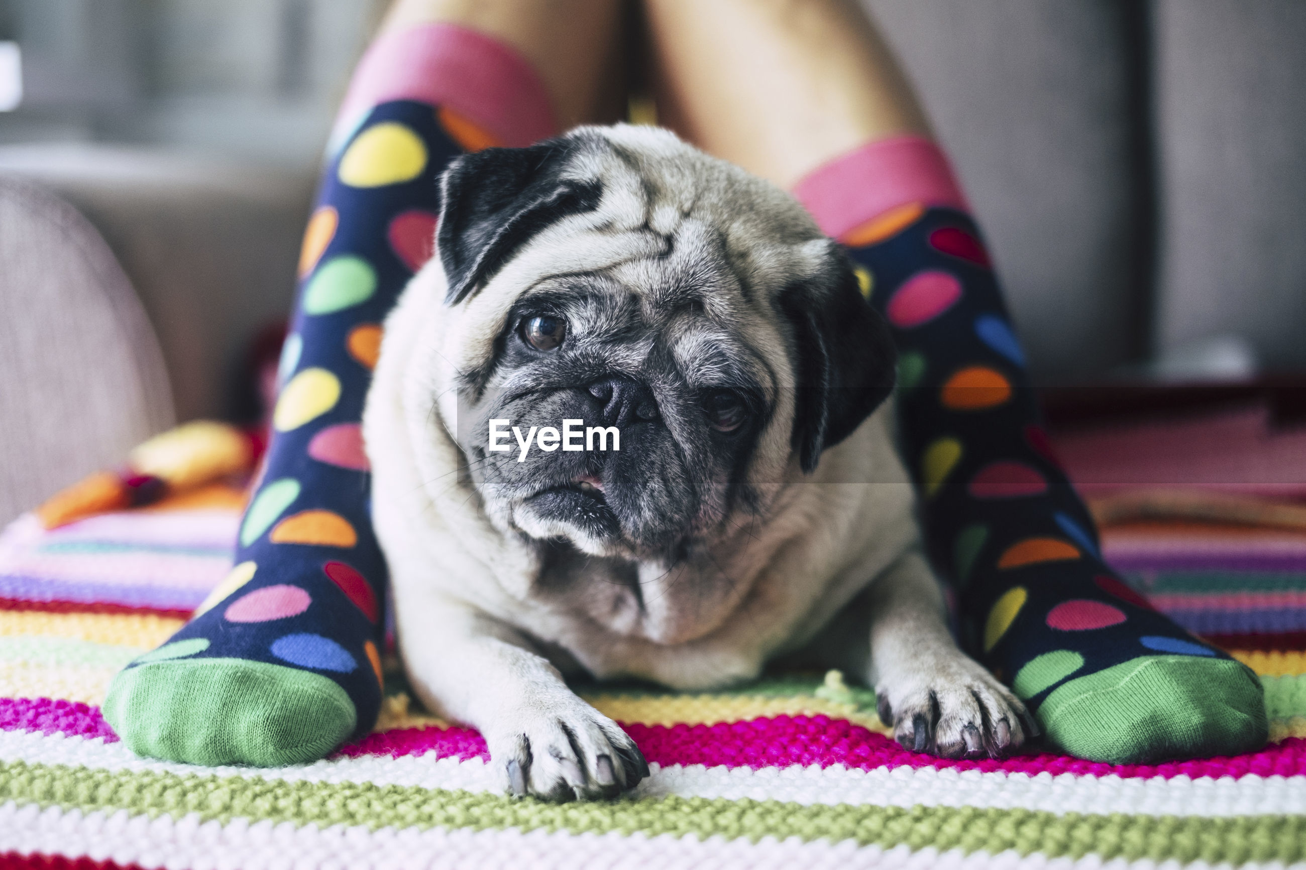 Low section of child wearing colorful socks sitting with pug on bed at home