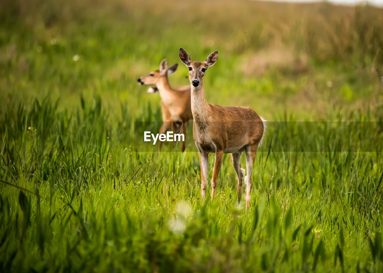 grass, animal, plant, animal themes, land, field, green color, selective focus, animals in the wild, animal wildlife, vertebrate, nature, mammal, no people, standing, deer, day, growth, group of animals, outdoors, herbivorous, fawn
