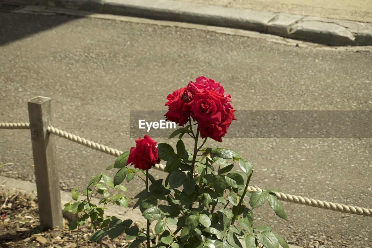 flower, red, rose - flower, nature, petal, outdoors, no people, beauty in nature, day, fragility, cemetery, flower head, high angle view, blooming, freshness, close-up