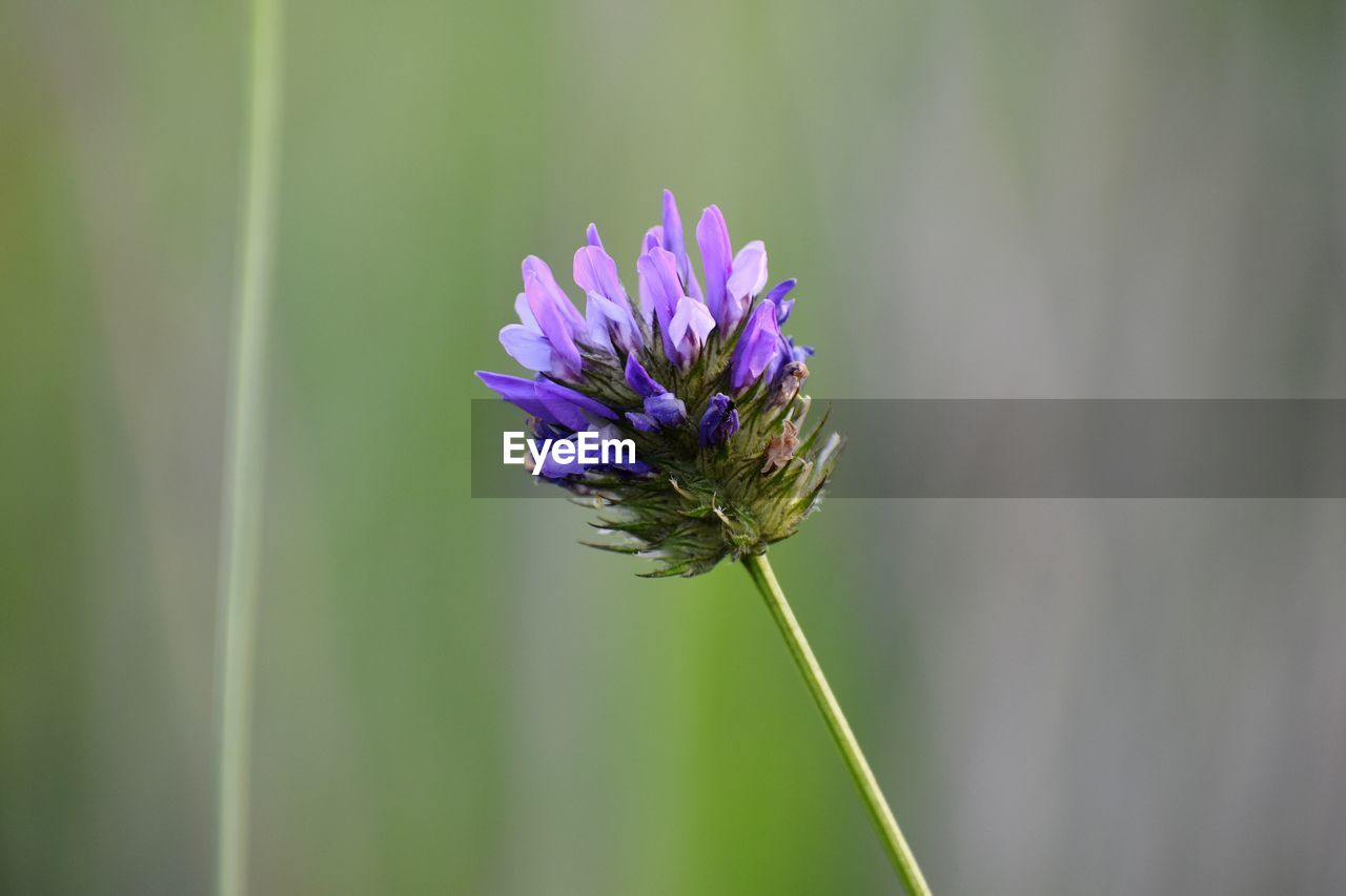 flowering plant, flower, plant, vulnerability, freshness, fragility, beauty in nature, growth, close-up, petal, focus on foreground, nature, flower head, purple, inflorescence, no people, plant stem, day, invertebrate, pollination