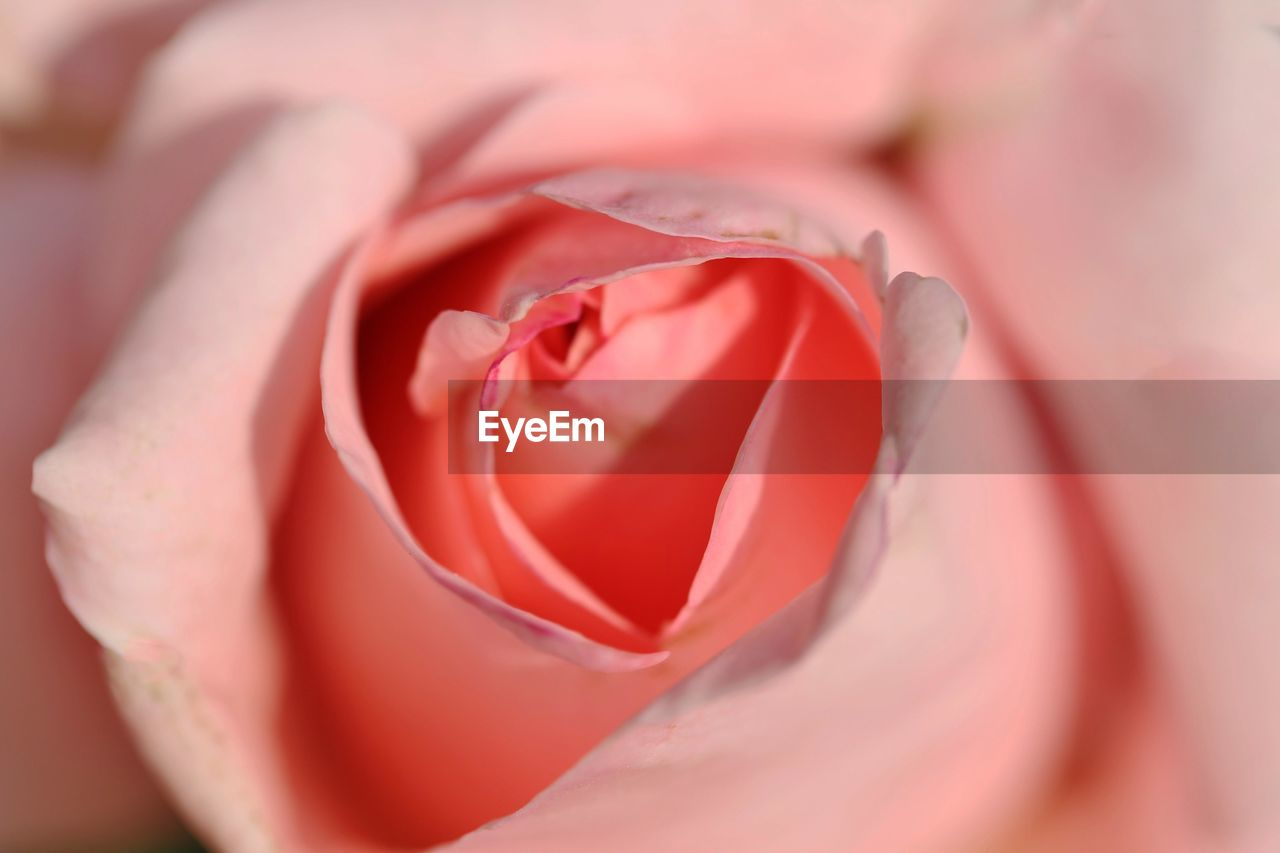 flower, flowering plant, rose, beauty in nature, plant, rose - flower, close-up, petal, vulnerability, fragility, freshness, flower head, inflorescence, nature, selective focus, red, growth, full frame, no people, pink color, outdoors, softness