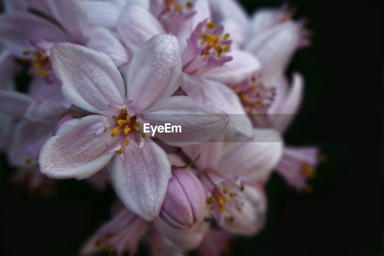 flowering plant, flower, petal, vulnerability, fragility, beauty in nature, plant, close-up, freshness, inflorescence, flower head, growth, pollen, pink color, no people, nature, botany, focus on foreground, selective focus, outdoors, springtime, cherry blossom