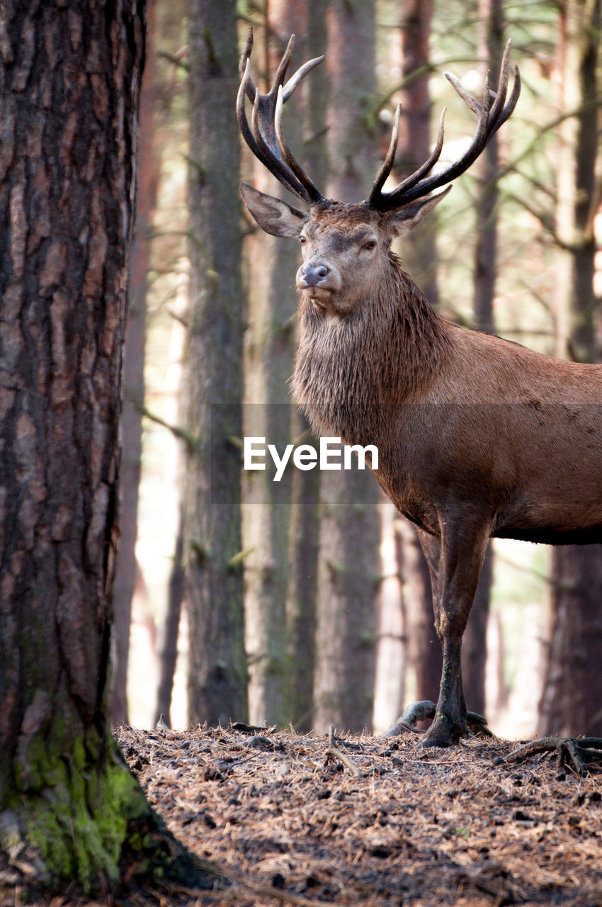 Close-Up Of Reindeer Standing By Tree Trunk In Forest