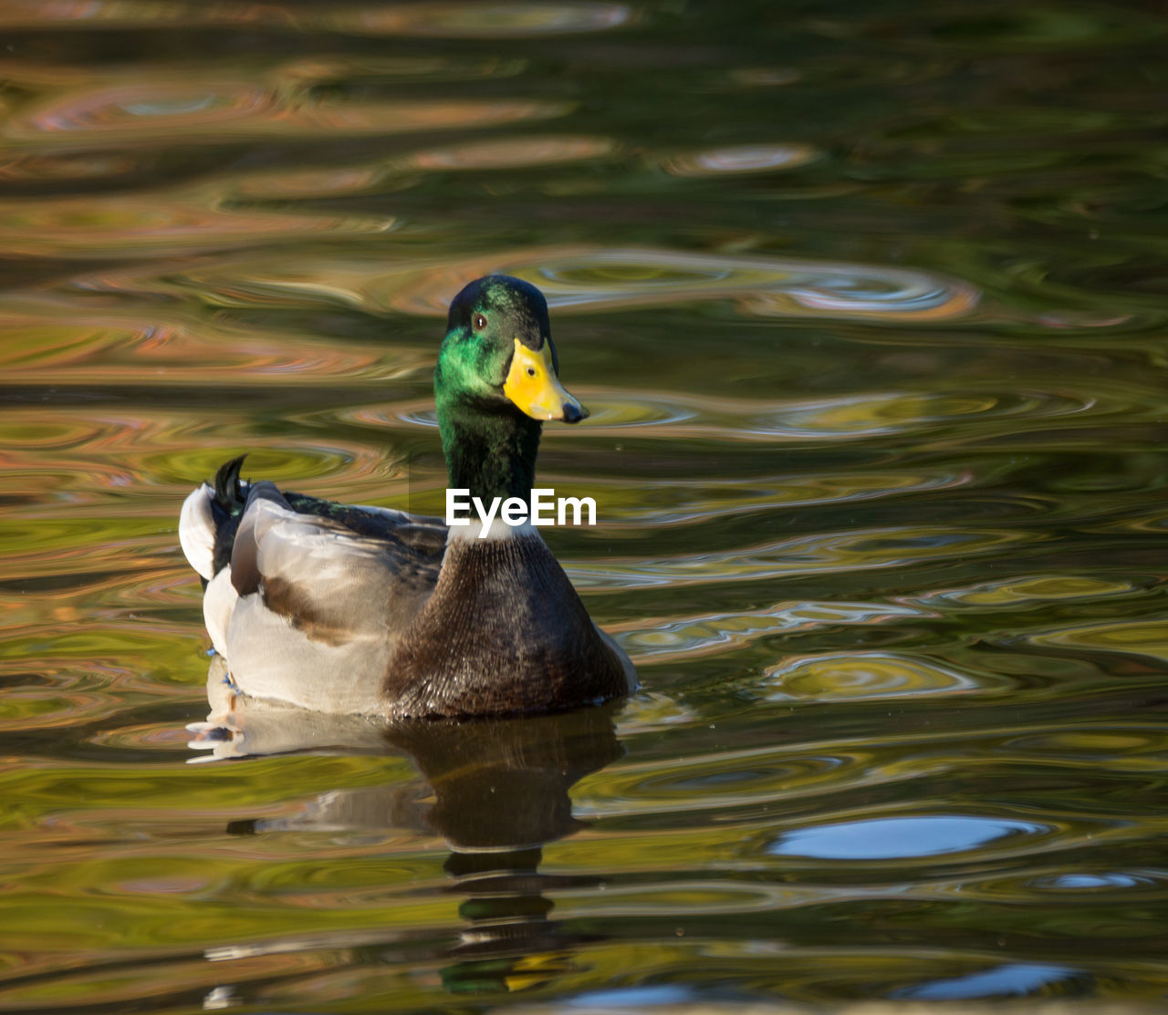 water, lake, vertebrate, animals in the wild, bird, animal themes, animal wildlife, waterfront, animal, swimming, duck, one animal, no people, water bird, day, poultry, nature, reflection, mallard duck, outdoors, floating on water