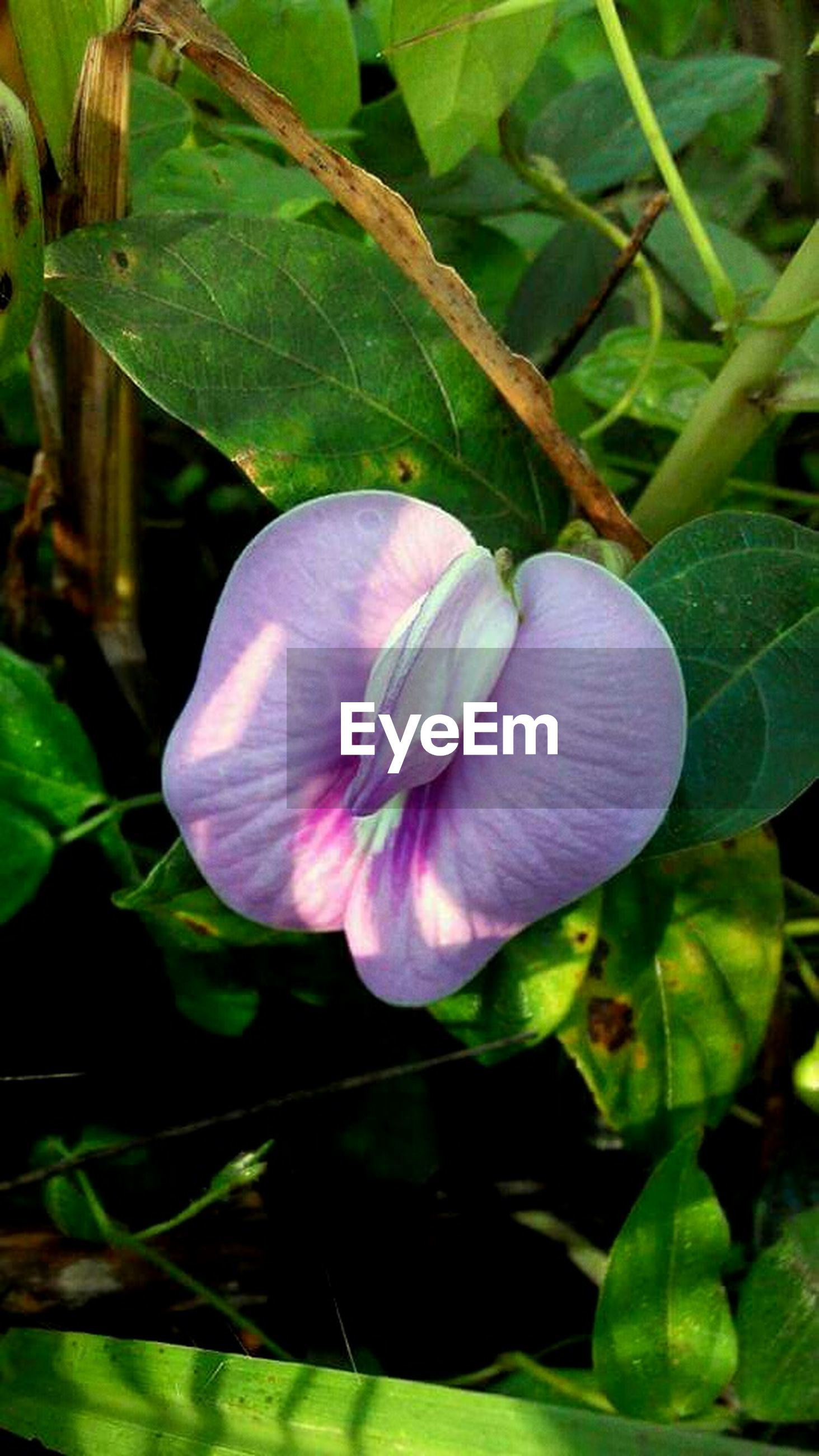 flower, freshness, petal, growth, leaf, fragility, flower head, beauty in nature, single flower, plant, nature, close-up, blooming, pink color, green color, purple, focus on foreground, in bloom, blossom, water lily