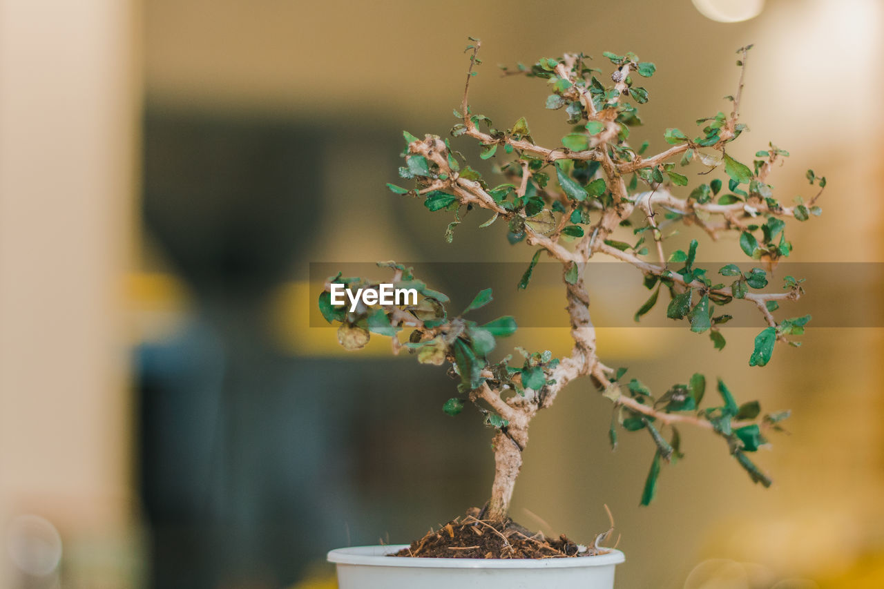 plant, bonsai tree, growth, focus on foreground, close-up, potted plant, nature, selective focus, table, decoration, indoors, no people, beauty in nature, tree, freshness, day, leaf, plant part, small, flower pot