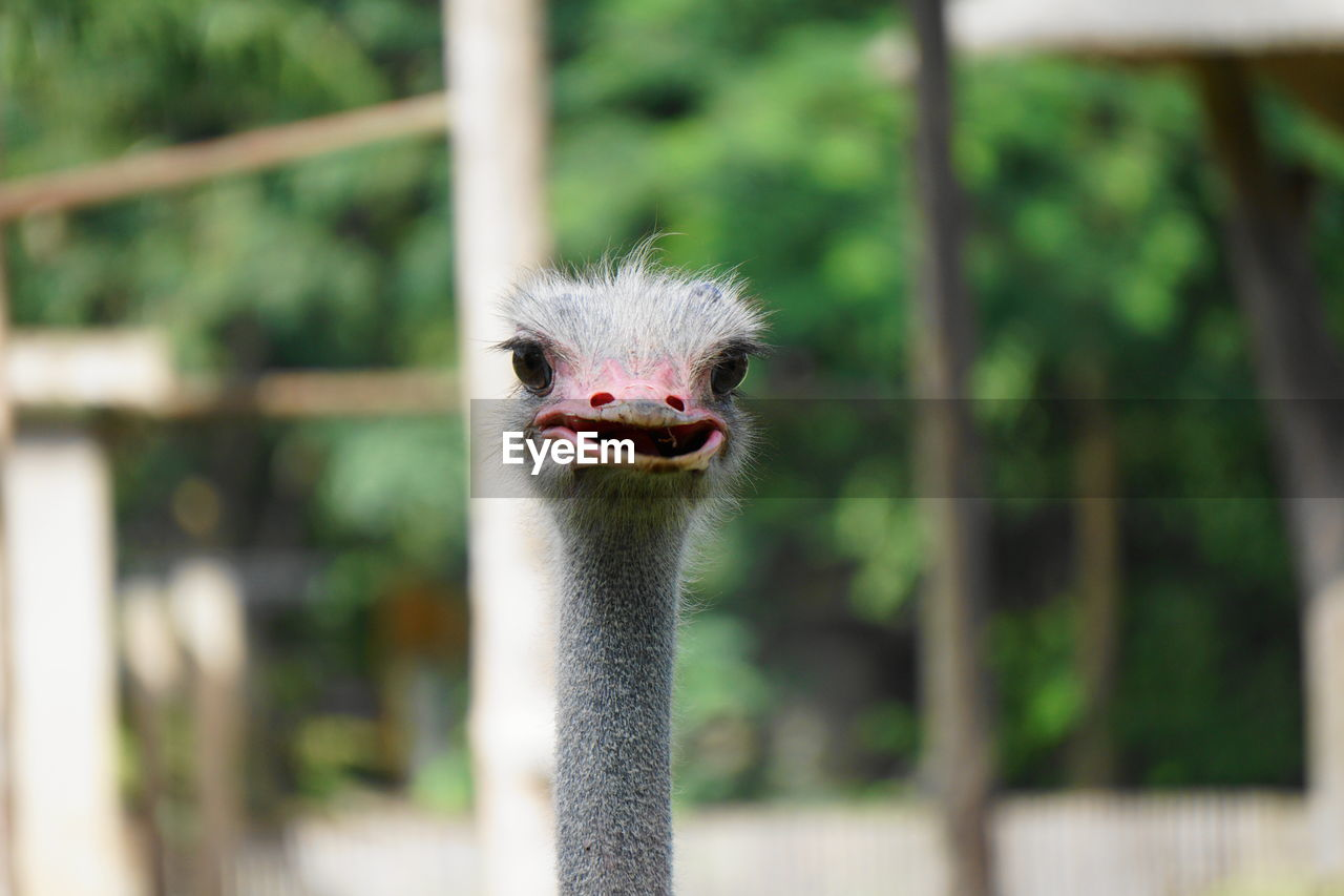ostrich, vertebrate, animal, animal themes, one animal, animal wildlife, bird, animals in the wild, focus on foreground, animal head, animal body part, no people, close-up, portrait, day, nature, looking at camera, zoo, beak, animals in captivity, outdoors, mouth open, animal neck, animal mouth, animal eye