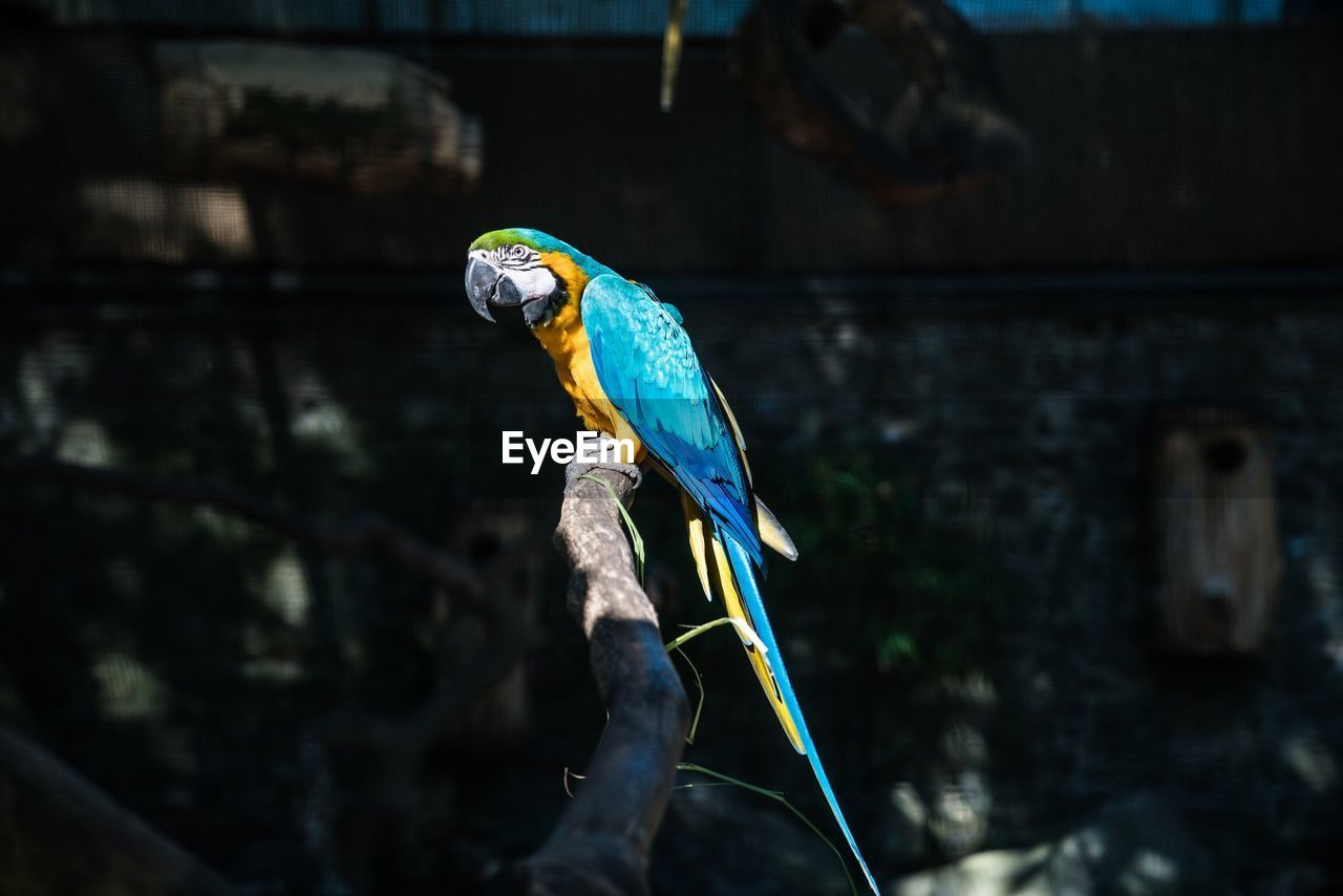 Gold and blue macaw perching on branch at pairi daiza zoo