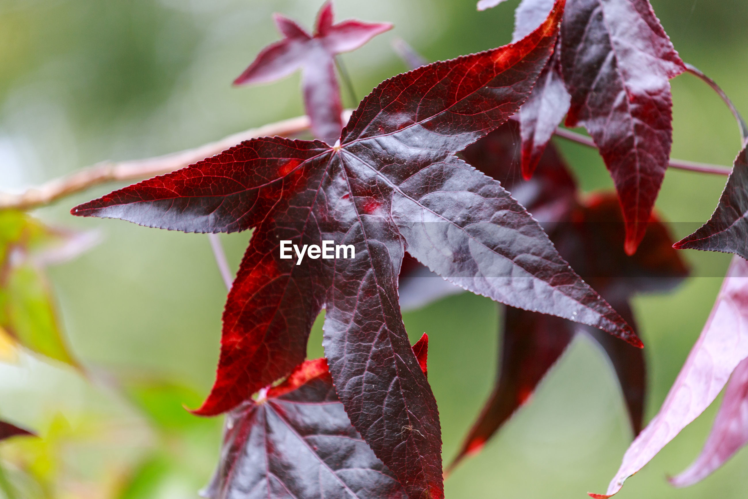 Close-up of maple leaves