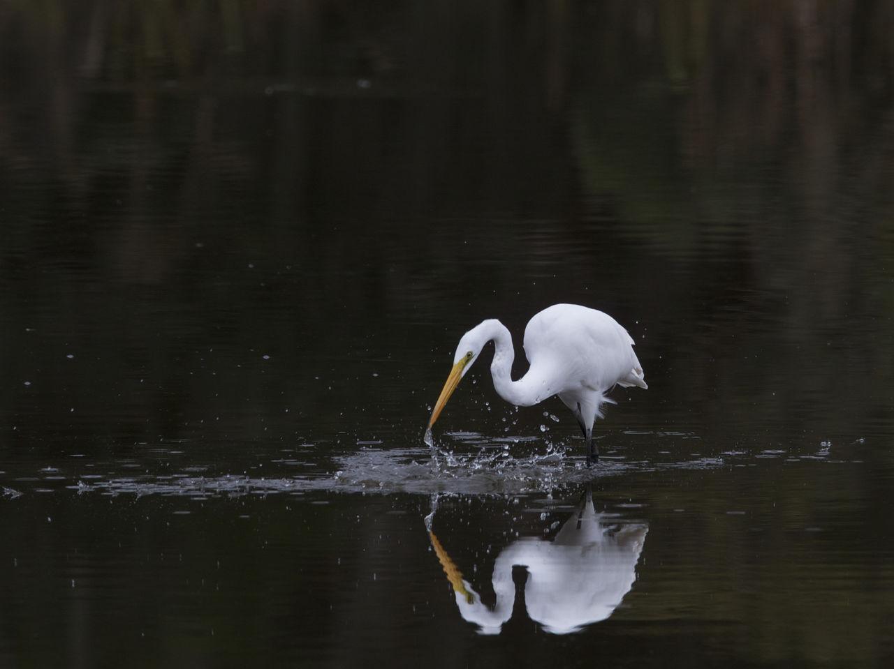 Egret Fishing In Lake