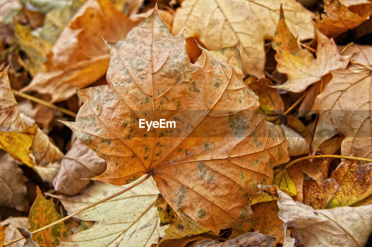 leaf, autumn, change, dry, leaves, day, maple, maple leaf, outdoors, nature, fallen, close-up, no people, beauty in nature, fragility